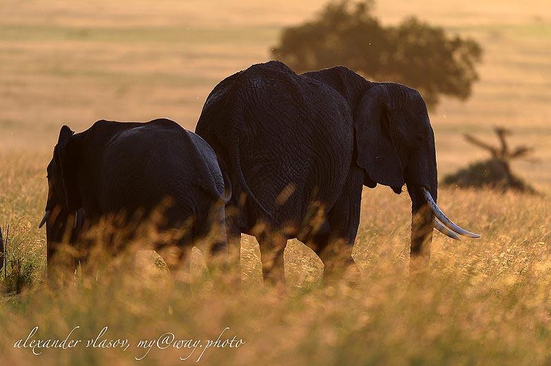 надо регулировать направление движения слоновьих групп