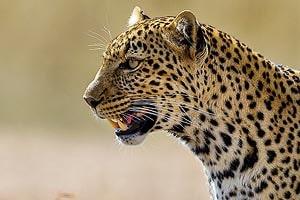 леопард из заповедника масаи мара