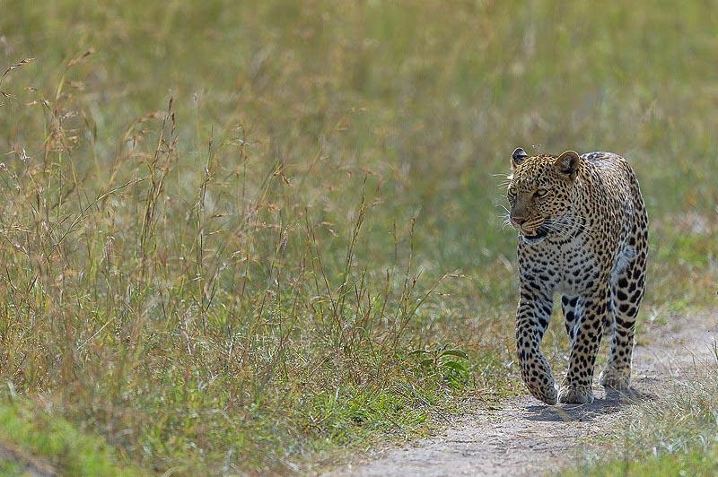 леопард в системе саванн серенгети