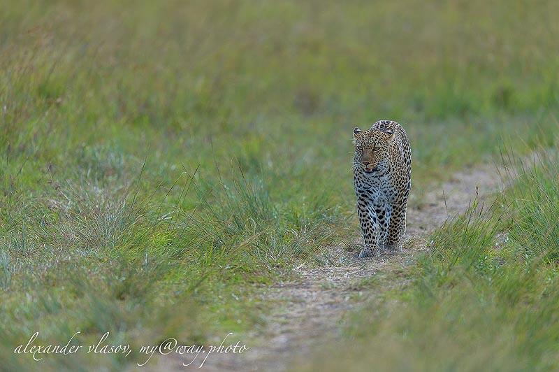 африканское животное леопард