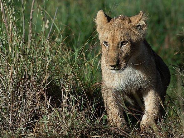 что может быть симпатичнее маленького львенка