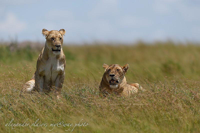 львицы масаи мара