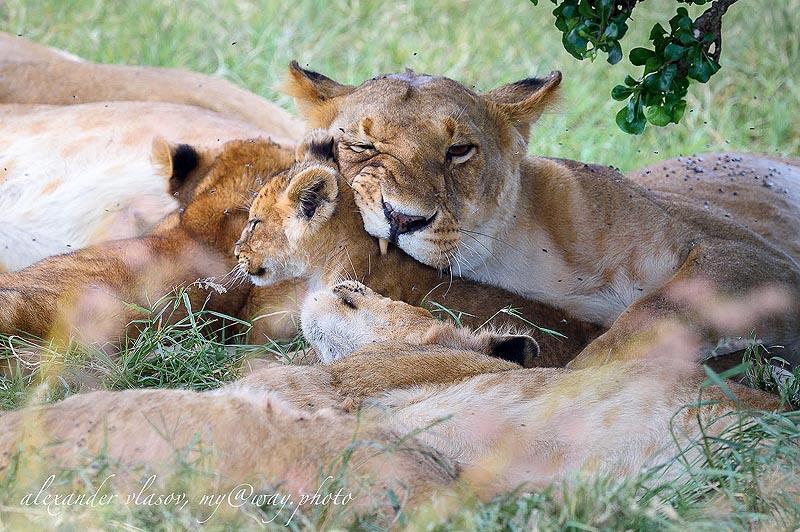 львиное семейство с маленькими детенышами