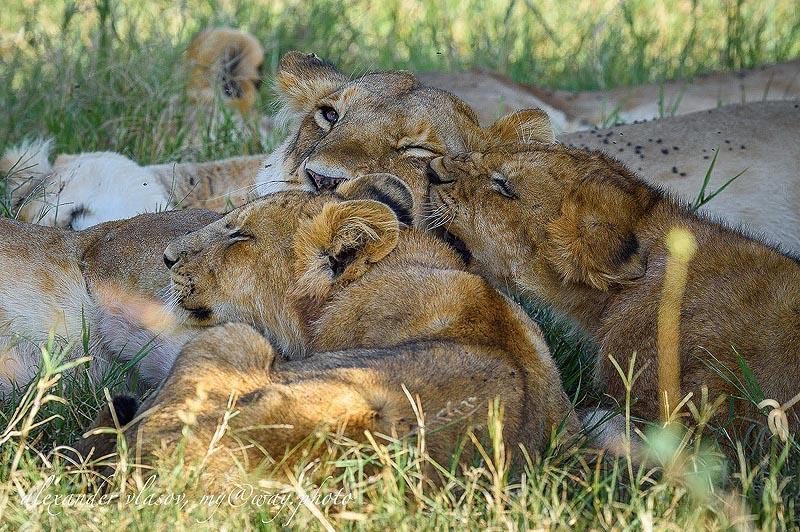 львиный прайд в заповеднике масаи мара