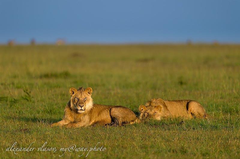 львы парка масаи мара