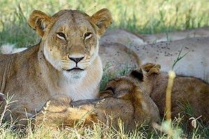 lvy v masai mara