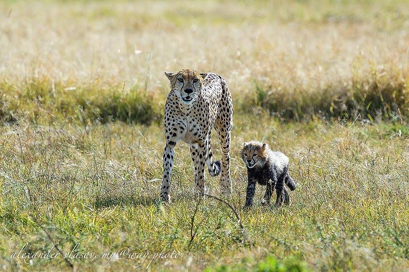 гепард с детенышев в заповеднике масаи мара