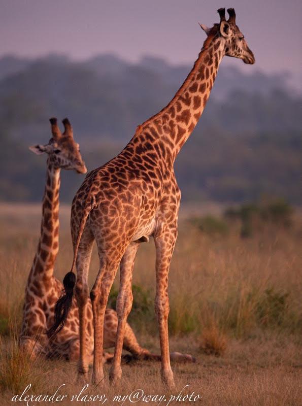 на равнинах экосистемы масаи мара находится дом масайских жирафов