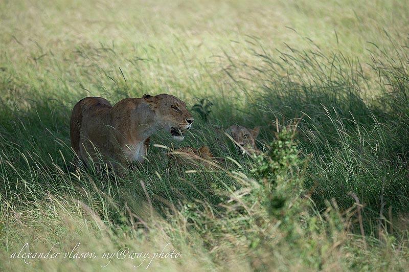 сначала мать заботится о львятах в одиночку