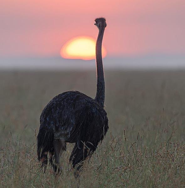 сираус габаритный мечтатель в африканской саванне