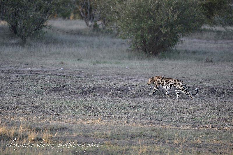 в зелени тропического леса находятся основные места обитания леопардов