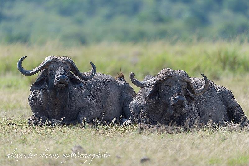 могучие буйволы масаи мара отдыхают в жаркий полдень