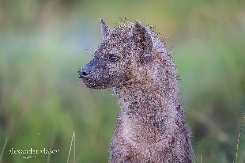 молодая пятнистая гиена масаи мара