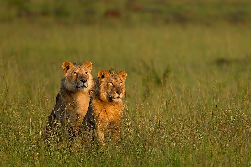 пара молодых львов в заповеднике масаи мара