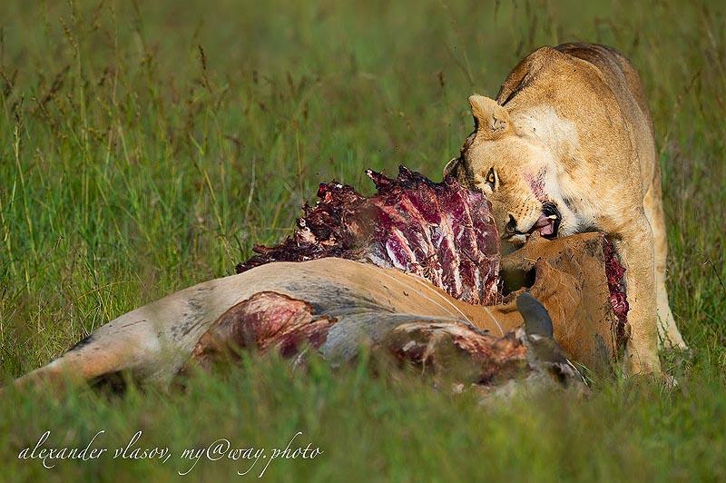 львица на охоте в масаи мара
