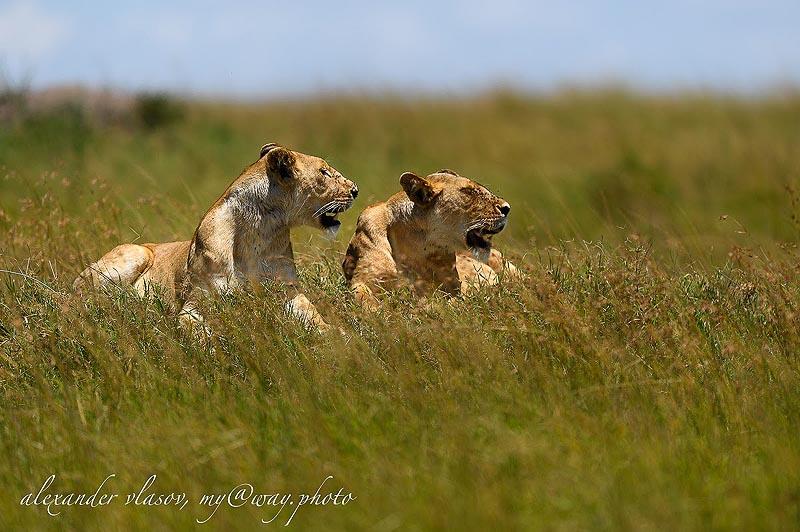 на отдыхе львицы стараются остаться рядом друг с другом