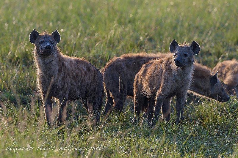 гиена зверь с необычной внешностью