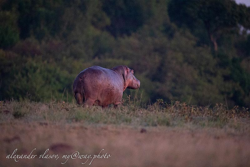 неуклюжие увальни бегемоты способны путешествовать по суше