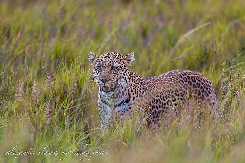 хриплый рев неуловимого леопарда
