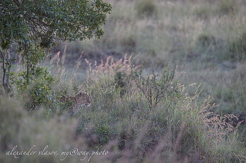 леопард невидим  в игре света и тени