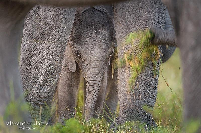 слоненок под животом матери