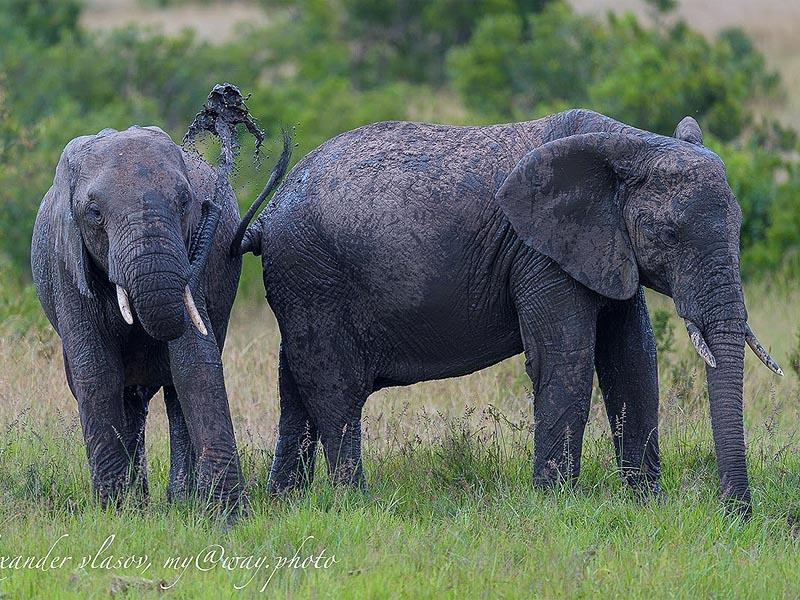 молодые слоны игривы любят толкаться и обливать друг друга грязью