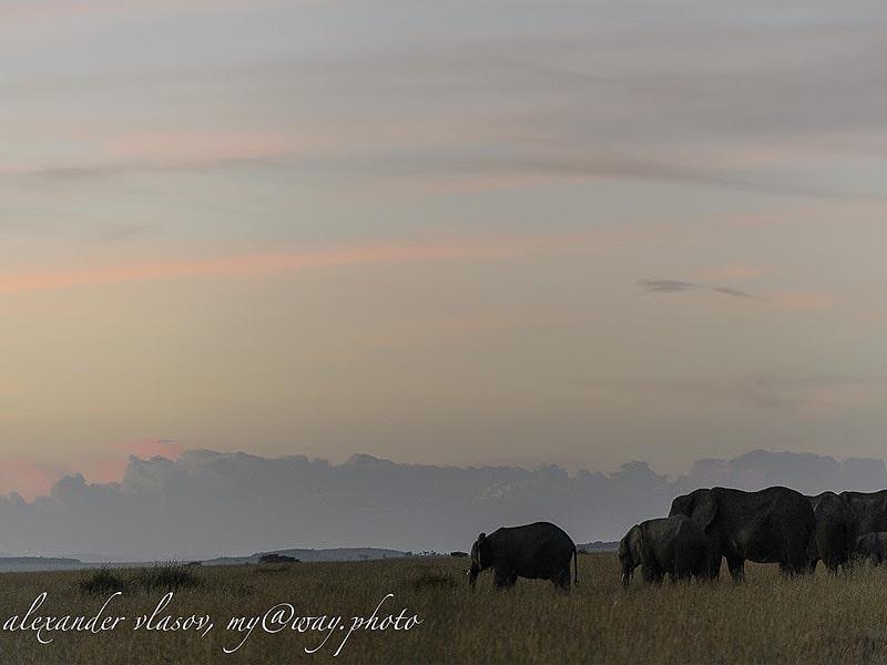 слоны перед рассветом