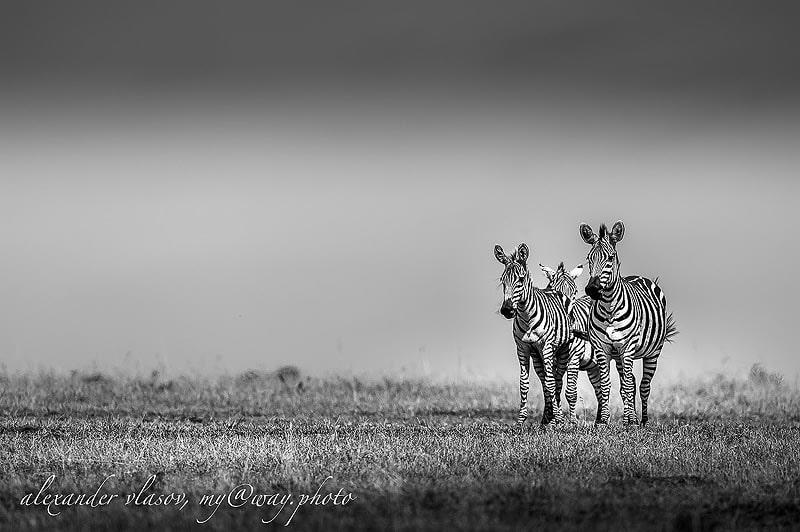 по африканским саваннам разгуливают полосатые зебры