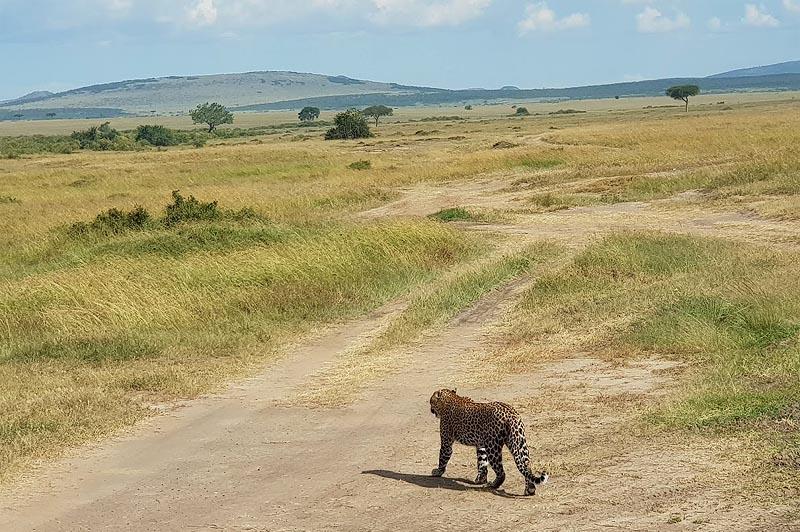 днем леопарды редко разгуливают по равнинам масаи мара