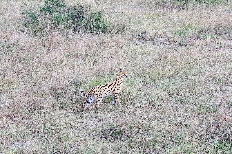 сервал зверек похожий на миниатюрного леопарда