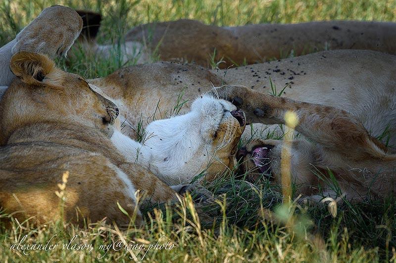 львиный прайд отдыхает
