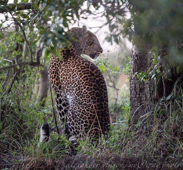 прекрасное животное леопард мирно сидел под деревом словно обычная кошка