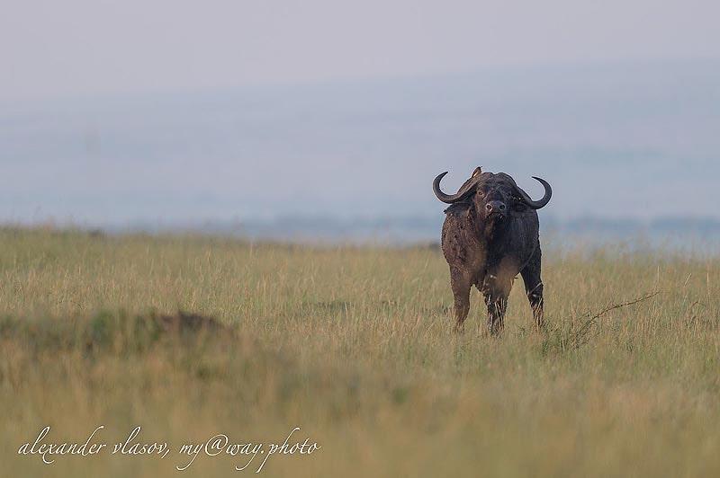 птичка на голове рогатого великана капского буйвола