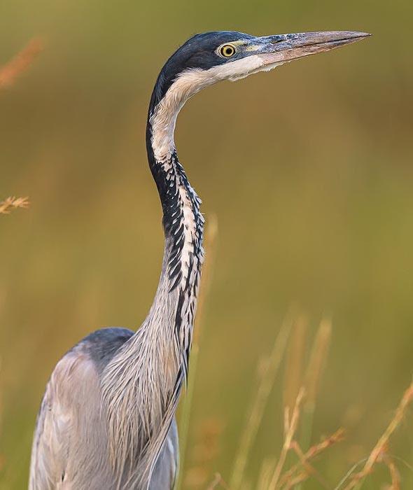 африканская змеешейка птица с длинной шеей
