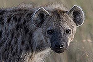 пятнистые гиены замечательные животные