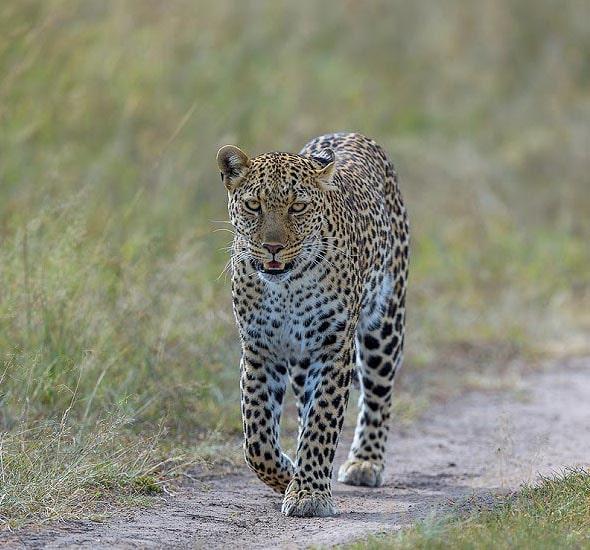 леопард самый неуловимый зверь