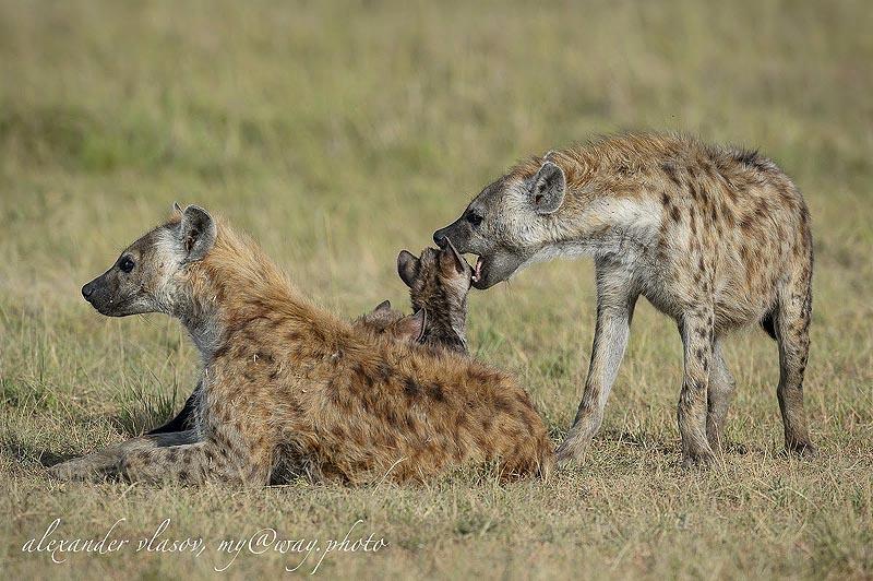 пятнистые гиены королевы масаи мара