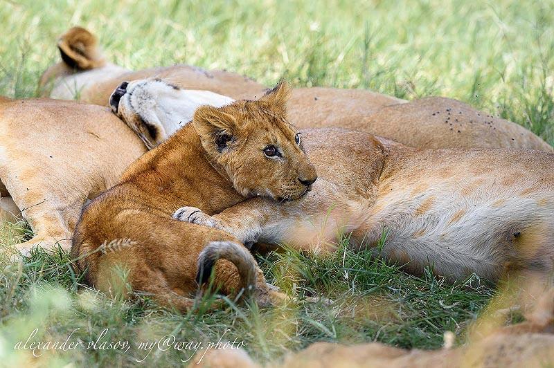в составе  львиной семьи
