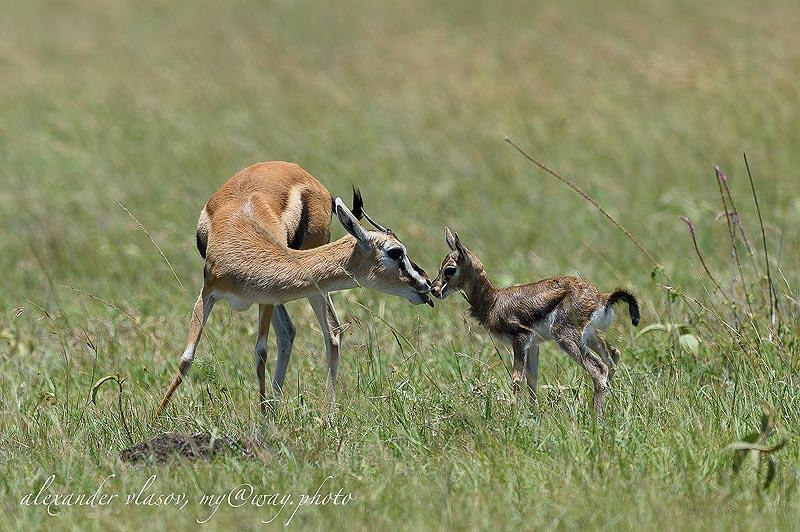 газель томсона самый распространенный тип газелей в африке