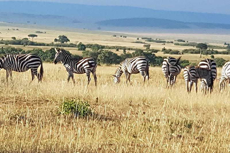 семейная группа зебр в масаи мара