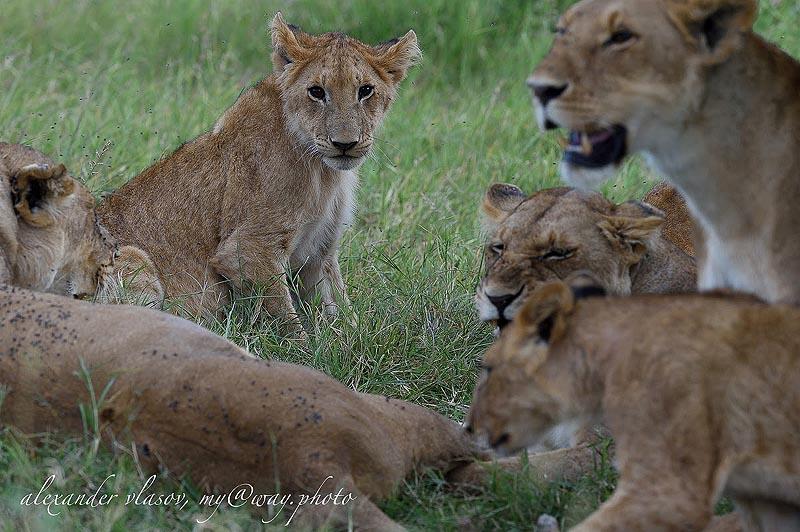 семейная группа в заповеднике масаи мара