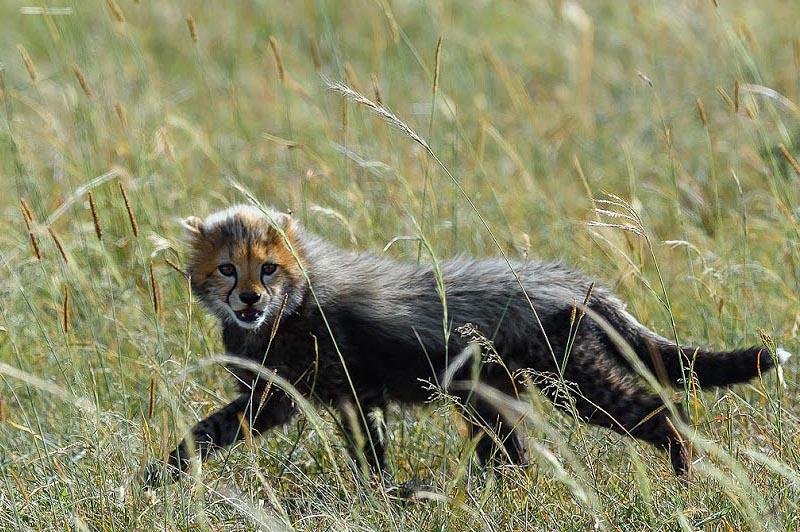 серебристая мантия маленького гепарда
