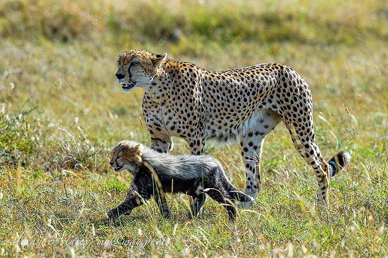 шагают по своим делам взрослый гепард с котенком
