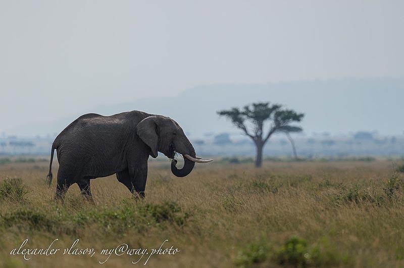 слон наслаждается перекусом в саванне