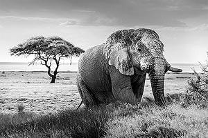 слон в заповеднике масаи мара