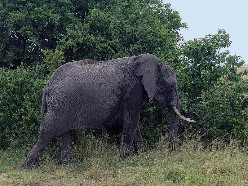 величественный слон вид сбоку