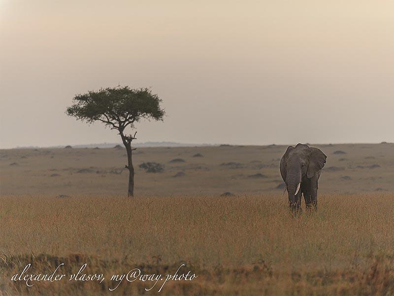 слон большеухий африканский обитатель