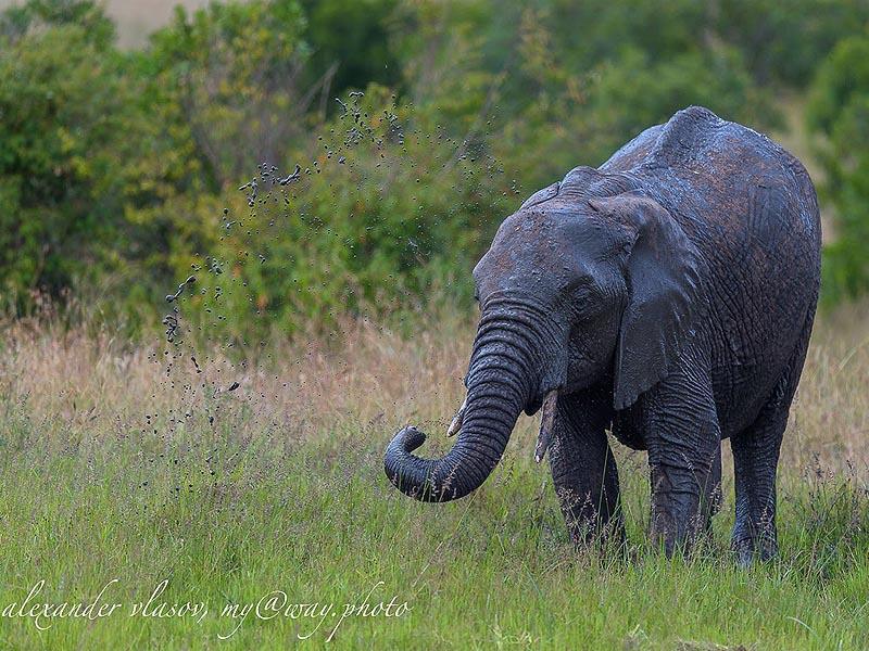 бивни продолжают расти на протяжении всей жизни слона
