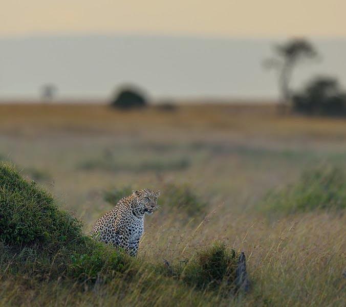 леопард смешивается с травой