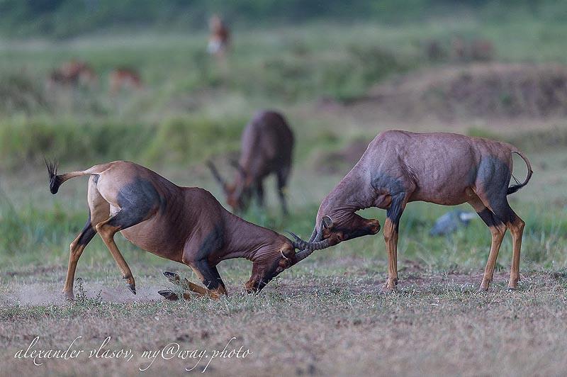 позерство и ритуальный спарринг антилоп топи